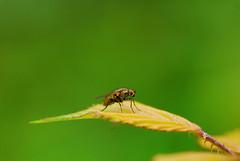DSC_6748 (Meinrad Prisset) Tags: nature schweiz switzerland nikon suisse fribourg insecte nikond200 swizzera biodiversit nikkor105mmf28gvrmicro