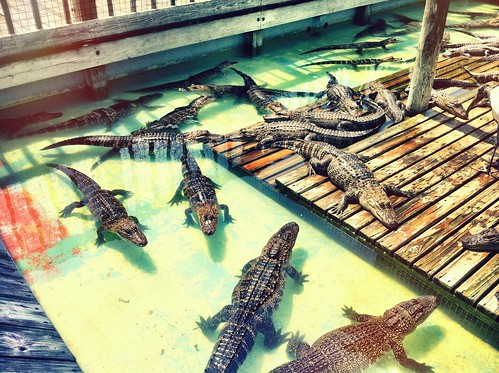 Sunbathing Gators