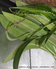 T.maculicollis (Guillermo J. Navarro (XhIvAdEmOn)) Tags: insects terrarium phasmids terrariums peruphasma schultei platymeris sungaya inexpectata xhivademon shivademon peruphama