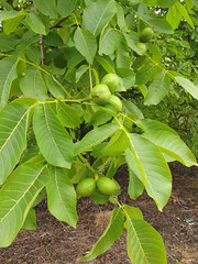 Walnuts (duckinwales (now in Ipernity)) Tags: tree green walnut nuts edible oxfordshire uffington veneer introduced enland juglansregia englishwalnut persianwalnut commonwalnut jupitersacorns jupitersnut