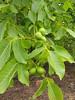 Walnuts (duckinwales) Tags: tree green walnut nuts edible oxfordshire uffington veneer introduced enland juglansregia englishwalnut persianwalnut commonwalnut jupitersacorns jupitersnut