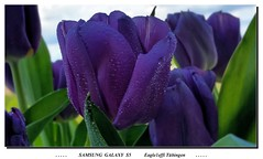 SAMSUNG GALAXY S5 - Lila Tulpen - HDR on,  2014-04-22 - Tulipan, tulip, Tulpen, tulips,Tulpe, tulipan, Tulipe, Tulp, Tulipano, Tulipan (eagle1effi) Tags: flower macro nature handy droplets drops bestof dof tulips natur cellphone samsung lila smartphone lilac galaxy fotos tulip waterdrops hdr android bestofflickr wassertropfen tulipe tulpen tulpe s5 tulipano tulp masterclass tulipan trpfchen handycamera hdrish eagle1effi ishotcc naturemasterclass hdron samsunggalaxys5 galaxys5 flickr30app samsungsmg900f