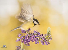 spread your wings (Geert Weggen) Tags: nature animal perennial closeup cute plant funny happy summer ground bright light branch yellow bird tit titmouse flower lupine stem wing fly sweden geert weggen jmtland ragunda