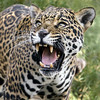 I am Jaguar, Hear Me Roar! (Penny Hyde) Tags: bigcat jaguar sandiegozoo flickrbigcats