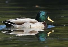 MRC_4026 (Obsies) Tags: patos gaviotas seagull lake laguna cangas morrazo ducks sigma300800 sigmonster nikon nikond500 zenelli naturaleza nature openair airelibre