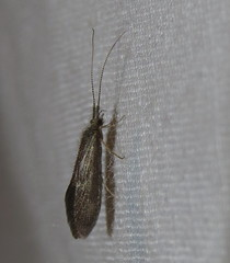 Caddisfly (Bug Eric) Tags: animals wildlife nature outdoors insects bugs caddisflies trichoptera coloradosprings colorado usa caddisfly northamerica july112016