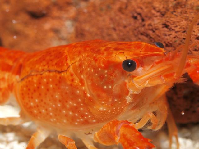 P3235022 橘螯蝦