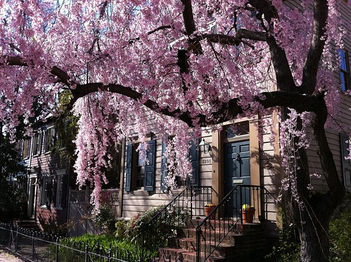 Cherry Blossoms in Georgetown
