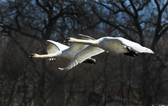 Trumpeter Swans North Bound (rickpawl) Tags: ice water birds golden swans trumpeterswans fowel