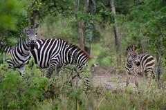 Zebras with Calf (Radu Zaciu - 1 Million Views. Thank You!) Tags: africa zebra afrika uganda impala calf kob lakemburo potd:country=ro