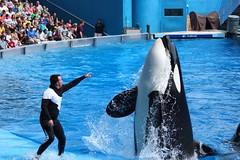 Believe (Seals4Reals) Tags: orlando florida believe killer whale orca shamu orcinus