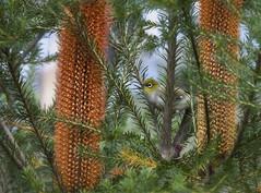 Silvereye (Zosterops lateralis) in Banksia sp. (Kristian Bell) Tags: bird nature animal fauna bell wildlife australia nsw kris banksia wildflower kristian silvereye avifauna lateralis zosterops