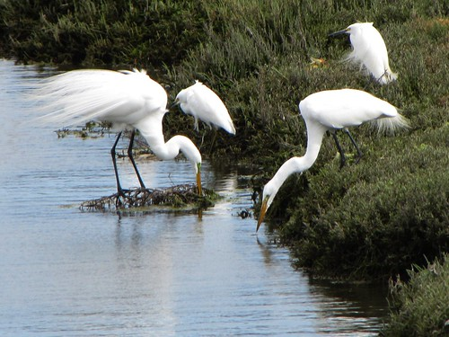 Great Egrets Meeting