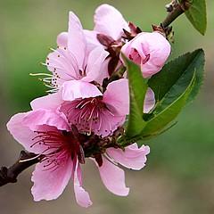 Peach Flower_Pink_9 (PQZ2011) Tags: flowers nature spring shanghai peachflower