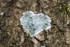 I heart lichen (Jelltex) Tags: tree lichen kingswood challock jelltex jelltecks