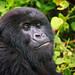 Juvenile gorilla with brown eyes