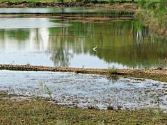 Stagnazione (Il cantore) Tags: reflection bird heron nature water pond natura uccelli marsh acqua palude wwf riflesso stagno airone 15challengeswinner canoniani oasidialviano