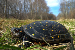 Spotted Turtle (lollopins) Tags: massachusetts newengland milton bluehills bluehillsreservation neponsetriverreservation