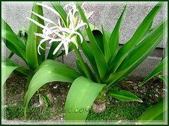 Crinum asiaticum (Giant/Grand Crinum Lily, Poison Bulb) with a cluster of white flowers