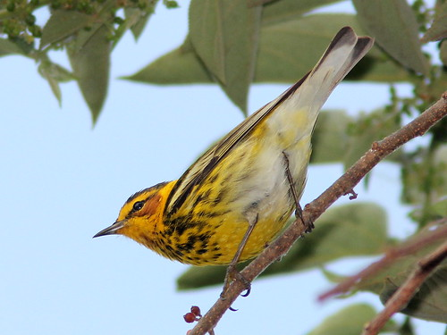 Cape May Warbler 20110412