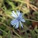 Fiore selvatico del Chubut