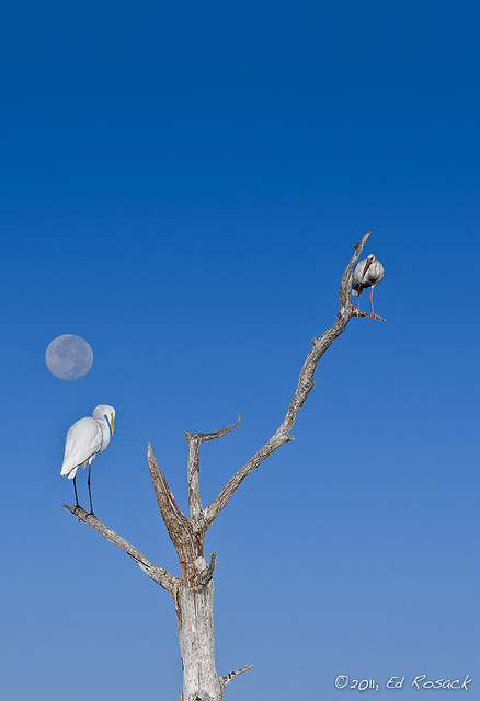 Great Egret, Ibis, and Moon