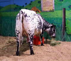 2011 Sydney Royal Easter Show: animals  5 (dominotic) Tags: motion animal animals rural cow movement sheep farm sydney llama goat australia bull nsw newsouthwales produce steer agriculture ras homebush theshow artsandcrafts eastershow sydneyroyaleastershow lifestock agriculturalshow citymeetscountry