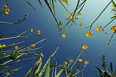 Maus im Blumenmeer (Roger_T) Tags: flowers blue sky nature up spring day buttercup feld meadow wiese himmel blumen clear blau frühling skywards butterblume 2011 himmelwärts mouseview blumenfeld uptothesky blumenmeer hahnenfuss sonyalpha200 ankenblume