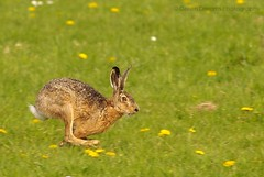 Hare on the Run (GreenDreamsPhotography) Tags: spring hare polder haas lente paashaas zoef naturesfinest