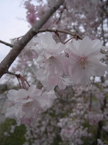 春の花々@明日香村-30