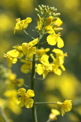 Rape seed plant.
