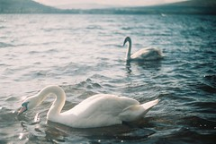 (Richard Stewart James Gaston) Tags: light white color colour film water birds contrast 35mm river dark swan peace dream swans richard dreamy loch gaston lomand aery