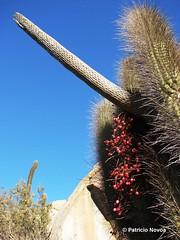 Tristerix aphyllus (Chilebosque) Tags: del quisco loranthaceae quintral tristerix aphyllus tristerixaphyllus parsitas
