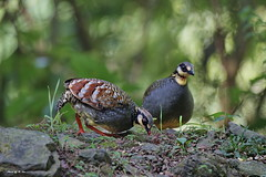 Formosan Hill Partridge (Taiwan Partridge) (Hiyashi Haka) Tags: hill species  taiwan formosan partridge endemic arborophila crudigularis23k