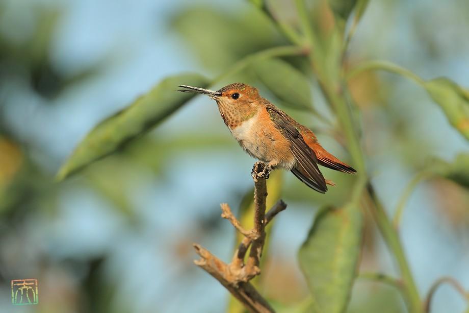 Allen's Hummingbird 042011