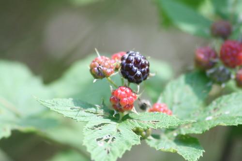 Dark Raspberry