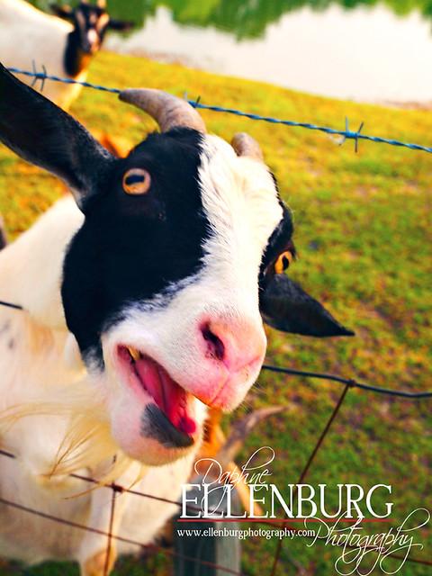 fb Goat-12mus