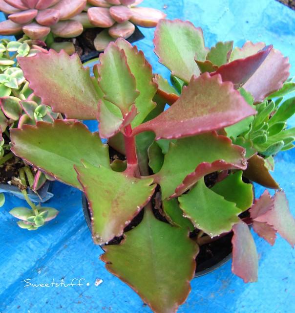 Kalanchoe Longiflora coccinea