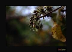 Mahua (Madhuca longifolia, Family: Sapotaceae) (HamimCHOWDHURY  [Read my profile before you fol) Tags: life red portrait blackandwhite white black green nature canon eos colorful faces blu sony surreal dhaka vaio rgb bangladesh gettyimages dlsr 60d incrediblebengal 595036 framebangladesh gettyimagesbangladeshq2
