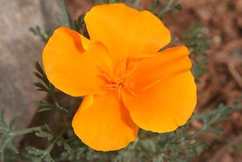 One Sole California Poppy