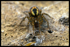 Funnel web spider (I.B. 123) Tags: macro closeup canon spiders insects bugs mpe65 funnelwebspider