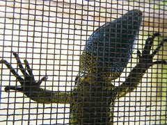 Mi lagarto posa asi de original....por TeresalaLoba (TeresalaLoba) Tags: garden spain jardin galicia gondomar biodiversity biodiversidad lacertaschreiberi lagartoverdinegro peitieiros especieamenazada teresalaloba lagartodassilvas reinodegondor schreibermuskerra