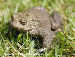 Common Toad (Julesy2011) Tags: blue fly bottle toads insects frogs flies amphibians newts