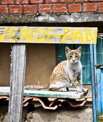 gato (javsluck) Tags: titicaca cat lago kitty bolivia gato gatito isladelsol