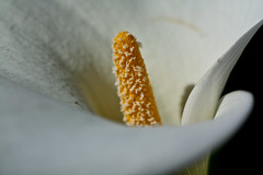 If God pays attention to the details, maybe I should too (rakkasan69) Tags: white flower macro up canon close tony lilly stamen pollen babcock xsi yelly