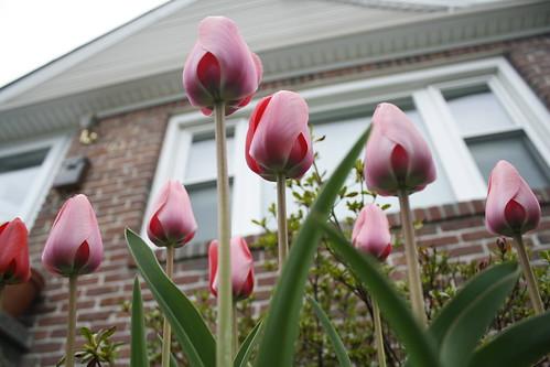 [117/365] Tulips