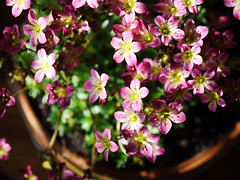 Spring on my table /  (lynnlin) Tags: pink light red plant flower lumix licht spring purple panasonic g2 lente rood bloesem roze paars saxifraga voorjaar 1442mm arendsii 20110425 p1100349