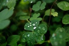 Cristales - Explore! (Lisandro M. Enrique) Tags: verde rain treboles a55green inkleaf rainforestsonya55sonyalphatrebol