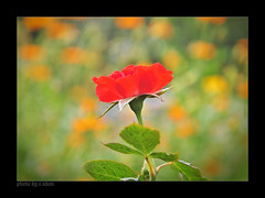 Love will live forever! (e.nhan) Tags: pink flowers light red flower art nature rose closeup landscape colours dof bokeh arts backlighting enhan