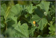 Newly emerged Coccinella septempunctata -      (Eran Finkle) Tags: macro closeup ladybird ladybug ladybeetle coccinellidae coccinellaseptempunctata newlyemerged